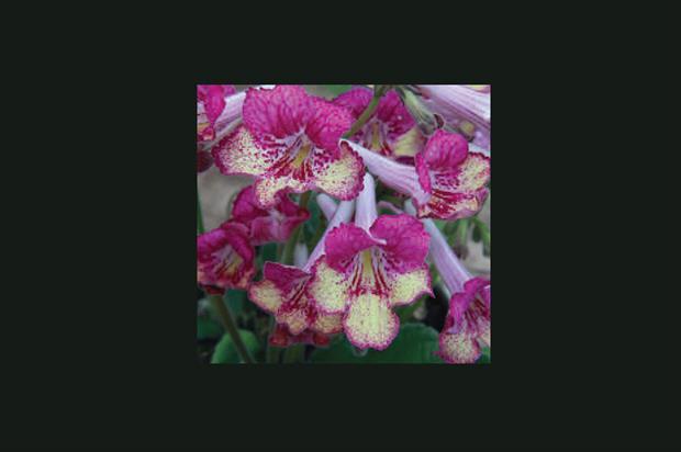 Streptocarpus 'Gold Rose' - image: Dibley's Nurseries