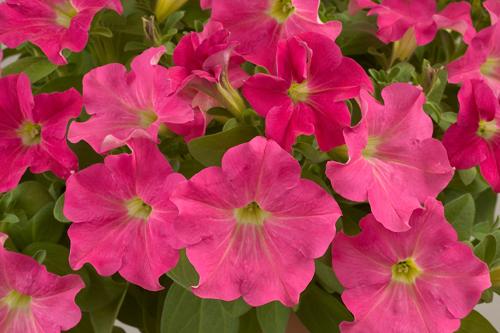 Petunia 'Summer Ray' - image: Delamore