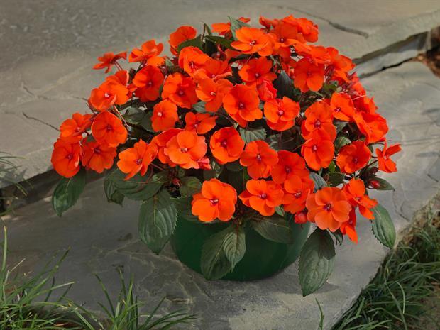 SunPatiens 'Hot Coral' - image: Earley Ornamentals