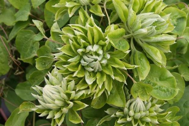 Clematis GREEN PASSION ('Zo11050') - image: RHS