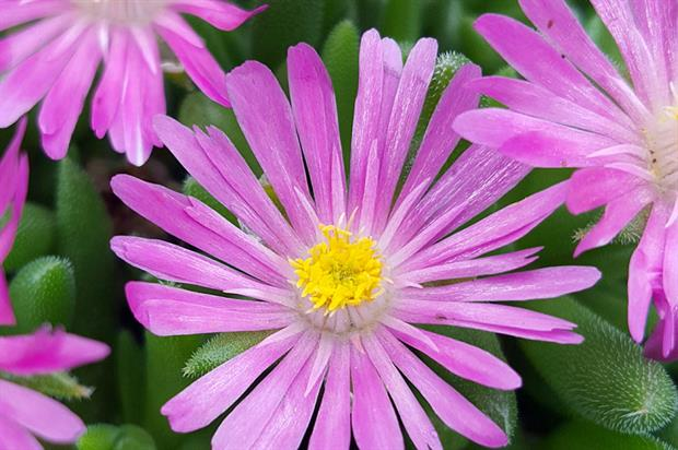 Delosperma '18-512' (Jewel of Desert Sunstone) - image: Alkemade BV, Gebr. Th. & W