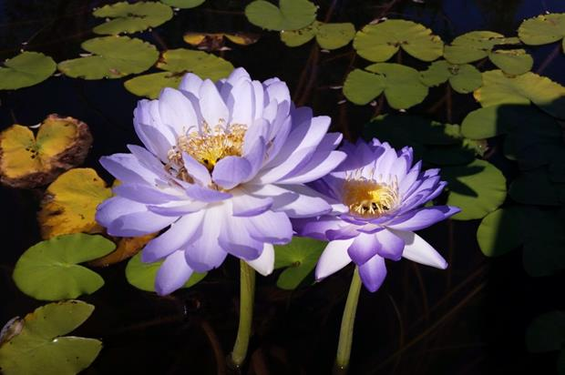 The yet-to-be named waterlily. Image: Carlos Magdalena, RBG Kew.
