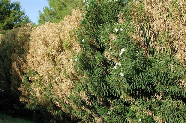 Nerium oleander affected by Xylella fastidiosa - image: CC by SA 3.0