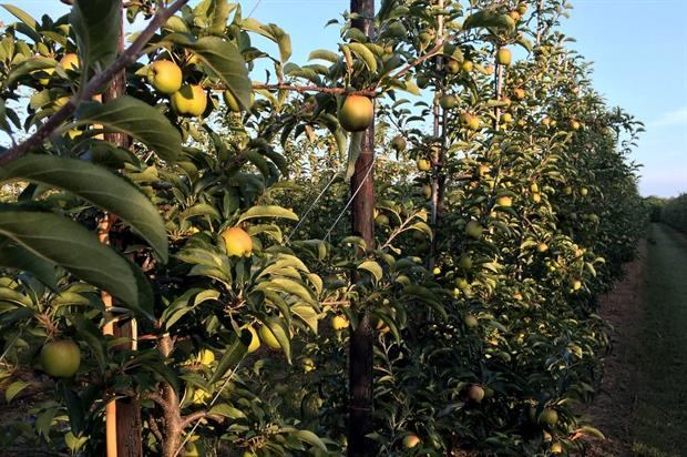 Zari apples growing at Shrubbery Farm - image:HW