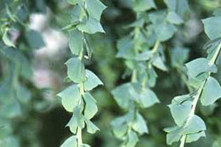 Acacia Horticulture Week