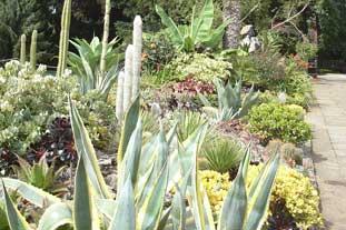 Agave americana AGM - flowering at Birmingham Botanical Gardens