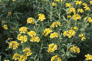 Artemisa absinthium 'Lambrook Silver' - photo: HW