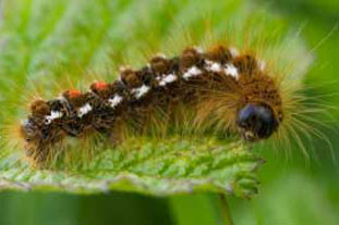 Caterpillar of the browntail moth - photo: istockphoto