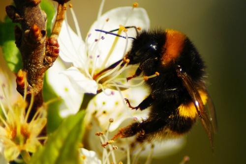 Bumblebee - image:Stewart Black
