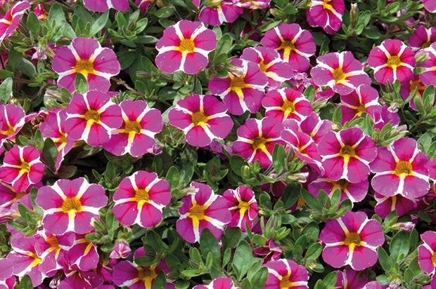 Calibrachoa Rave Pink '16 - image: Pentland Plants