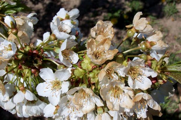 Frost-damaged sweet cherry blossom - image: Eric Hoffmann (CC BY ND 2.0)