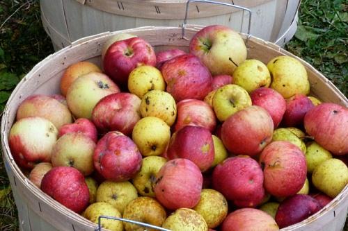 Cider apples - image:  Rebecca Siegel