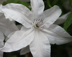 Clematis 'Beautiful Bride'