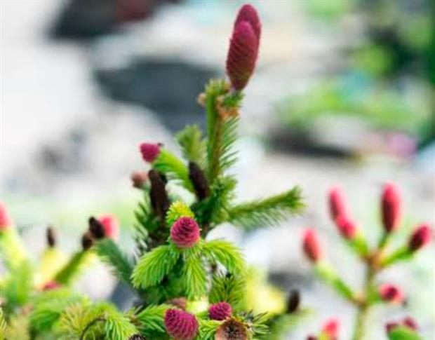 Garden Centre Launches Online Christmas Trees With Needlefresh