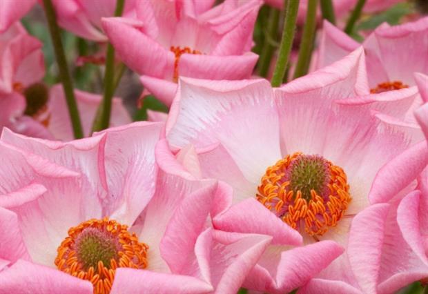 Rococo Ranunculus