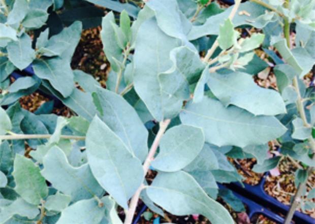 Mesa de Maya Southwest Oak