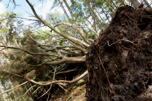 Storm-blown tree - image: Stefan Magdalinski