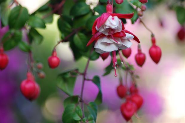 Fuchsia. Image: MorgueFile