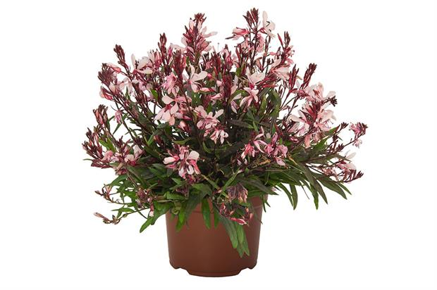 Gaura lindheimeri 'Graceful Pink' (Graceful) - image: Dümmen Orange