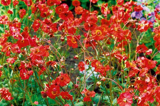 Geum horticulture week mightylinksfo