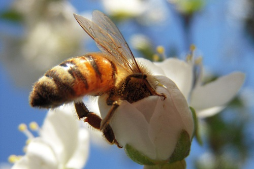 Honeybee - image: Alexander Stokes