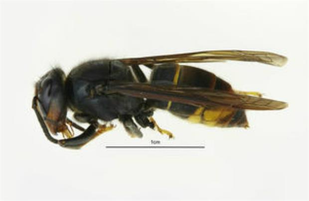 Asian hornet identification app launched by Government