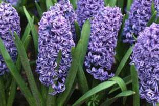 Hyacinthus 'Blue Jacket' - photo: Graham Clarke