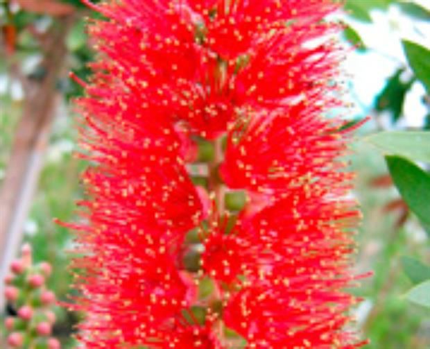 Callistemon 'Red Cluster'