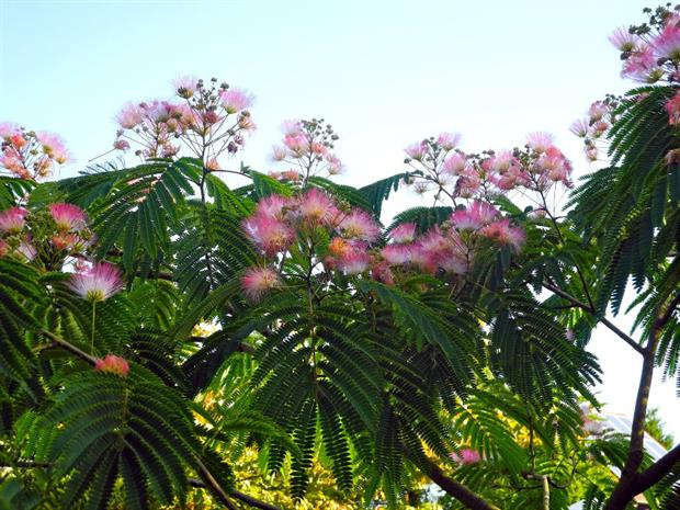 Albizia julibrissin 'Pos 1' (Tropical Dream)