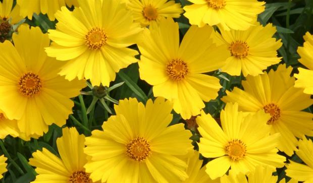 Coreopsis Flying Saucers: Squires