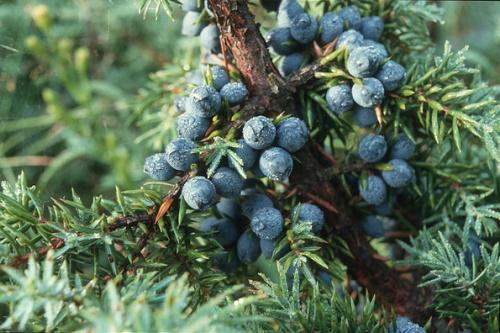 Juniper berries - image:Guttorm Flatabø