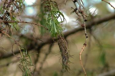 Larch affected by Phytophthora ramorum - image: Forestry Commission
