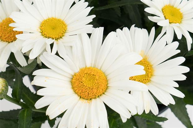 Leucanthemum maimum 'Christine' (Sweet Daisy) - image: Dümmen Orange