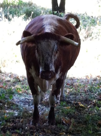 Longhorn cows are grazing in Holland Park
