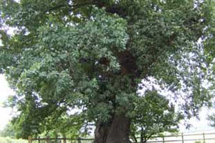 The 1,200-year old Parliament Oak rescued by Nottinghamshire County Council - photo: Nottinghamshire CC