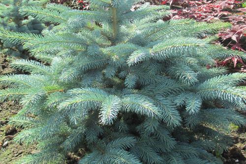 Picea pungens 'Super Blue Seedling' - image: Pannebakker Plants
