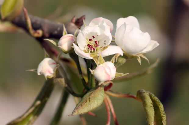 Pear blossom - Image: Dean Morley
