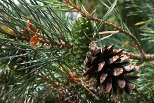 Pinus sylvestris - photo: Gavin McEwan