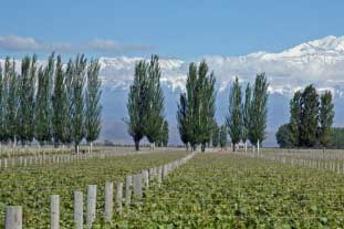 Poplars, deemed difficult to maintain - photo: Istockphoto