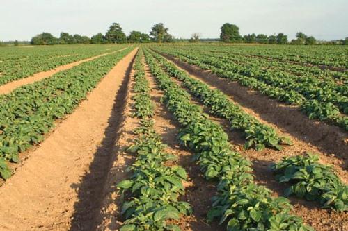 Potato field - image:Barry Crabtree