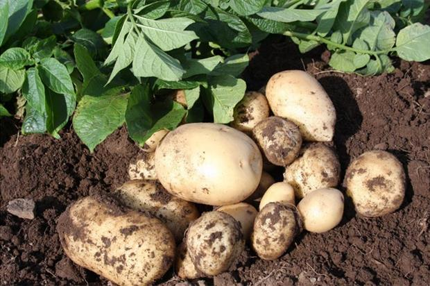 Accord seed potatoes - image: JBA