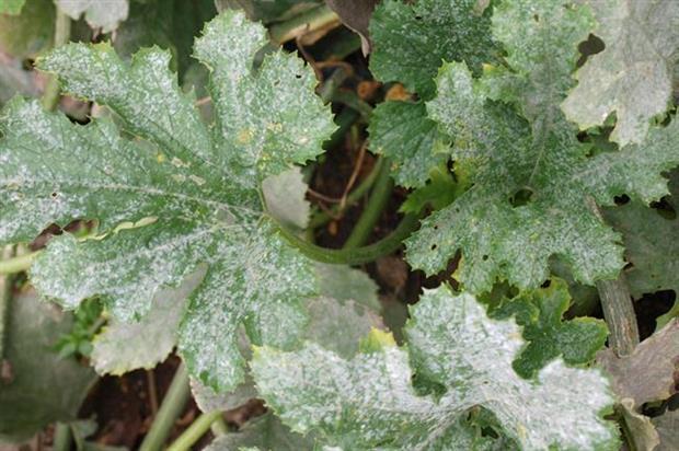 Powdery mildew on marrow