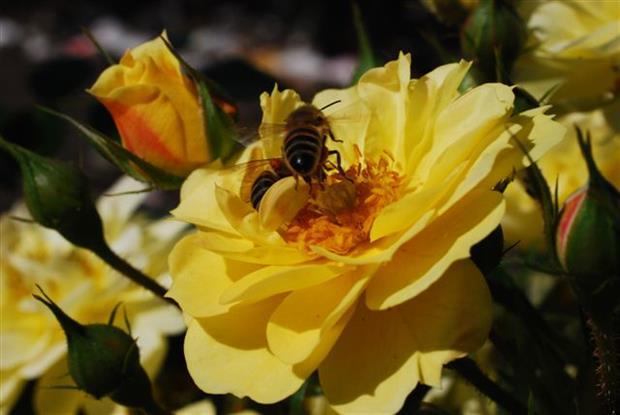 Bijenweelde bee-attracting roses
