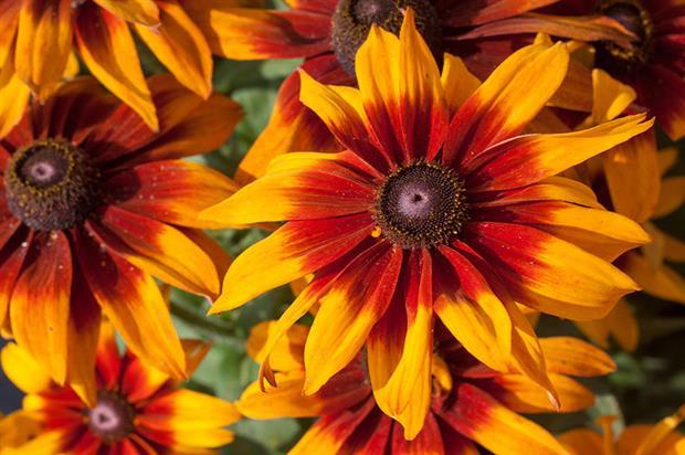 Rudbeckia hirta 'Laughing SmileyZ' - image: AB-Cultivars