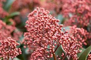 Skimmia japonica 'Rubella' - photo: Istockphoto