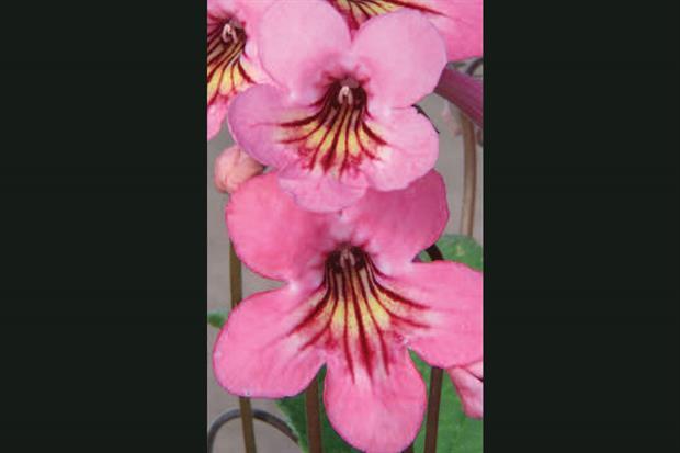 Streptocarpus 'Sadie' - image: Dibley's Nurseries
