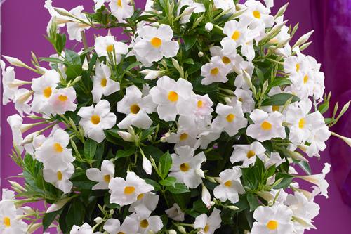 Sundaville 'Grand White' - image: Moerheim New Plant