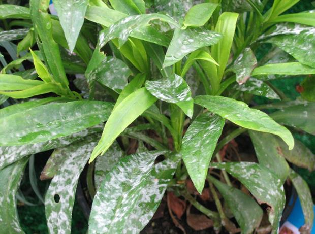 powdery mildew -AHDB