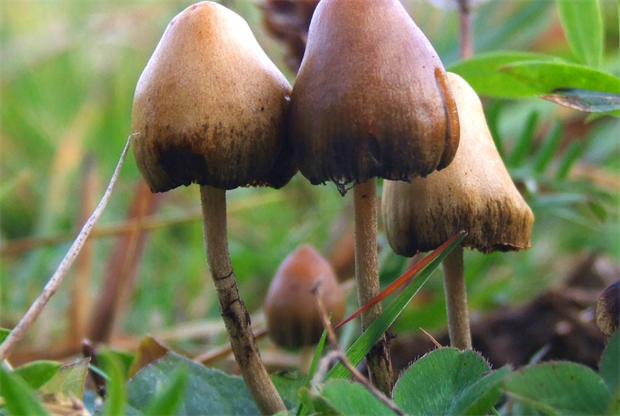 Kew to place magic mushrooms under the spotlight