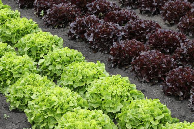 Lettuce: Sainsbury's complaint about Tesco ad